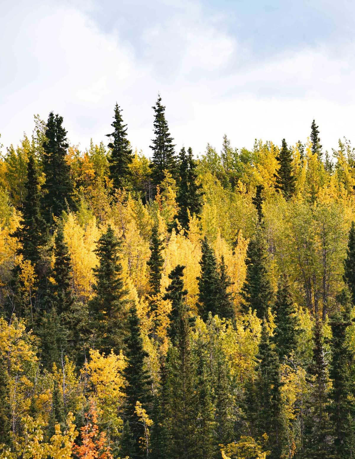Pine Trees Pic